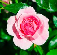 One pink rose flower close up on green leaves background - stock photo