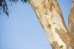 Eucalyptus gumtree outback Australia Stock Photos