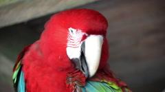 Preening Scarlet Macaw Stock Footage