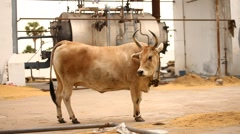 Cow at home Stock Footage