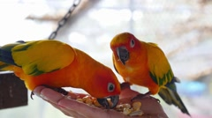 Hand Holding and Feeding Parrots - Animal Care Concept Stock Footage