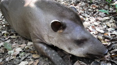 Relaxing Tapir Closeup Stock Footage