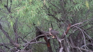 Stock Video Footage of Sharp Shinned Hawk Red Eyes Preens Molts White Feather