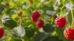 Ripe raspberry bush Stock Footage