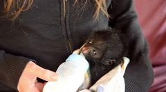 Baby Spider Monkey Feeding Stock Footage