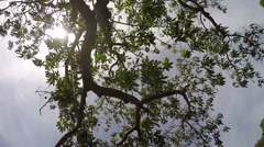 Mango fruit tree fish eye lens Stock Footage
