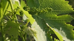 Young Grapes & Grape Leaves in Italian Sun Stock Footage