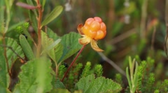 Close-up shot of a cloudberry being picked Stock Footage