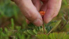 Cloudberry picking close-up shot Stock Footage