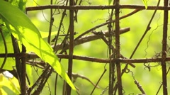 Iron net fence with creeper plant with dried sprouts Stock Footage