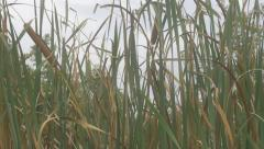 Cattail bulrush plant on wind 4K 2160p UHD footage - Typha spp reed plant out Stock Footage