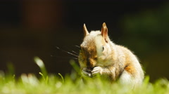 Slow zoom into Squirrel munching on food 4K - stock footage