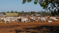 Beef cattle for export Stock Footage