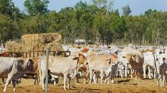 Australian beef cattleyard Stock Footage