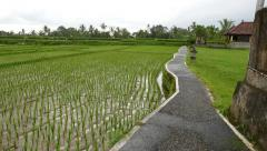 Asphalt path aside rice paddy, glide camera move lower to shoots on ricefield - stock footage