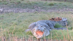 Sunning saltwater crocodile Stock Footage