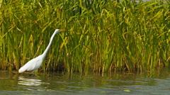 Egret feeding at bird billabong  Stock Footage