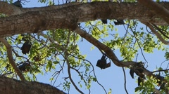 Fruit bat colony Stock Footage