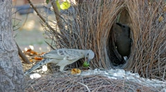 Great bowerbirds at bower Stock Footage