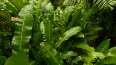 Lush wet banana leaves in rainforest jungle, close view from top Stock Footage