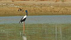 Black-necked stork and kangaroo Stock Footage