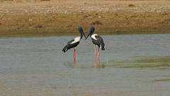 Pair of black-necked storks Stock Footage