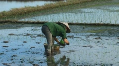 Farmers grown rice in the field,Asia Stock Footage