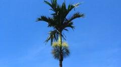 Areca trees and sky Stock Footage