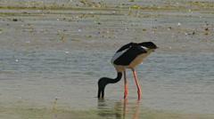 Black-necked stork feeding Stock Footage