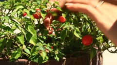 Stock Video Footage of Hand picking chilli