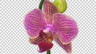Stock Video Footage of Time-lapse of opening Phalaenopsis KV Charmer orchid with ALPHA channel
