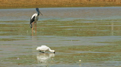 Black-necked stork and spoonbill Stock Footage