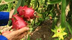 Farmer harvested dragon fruit Stock Footage