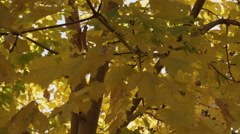 Yellow fall leafs blowing in the wind Stock Footage