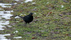 A blackbird hopping on the ground Stock Footage