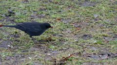 The Turdus Merula picking some food on the ground Stock Footage