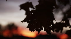 Silhoutted leafs in front of sunset Stock Footage