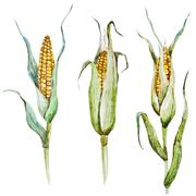 Stock Illustration of Watercolor corn