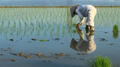 Farmers grown rice in the field, Asia Stock Footage