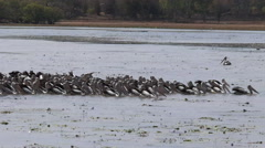 Pelican flock feeding at a billabong Stock Footage