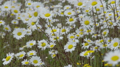 Lots of daisies on the field Stock Footage
