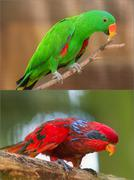 Collage of beautiful Chattering Lory Lorius on a branch Kuvituskuvat