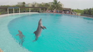 Stock Video Footage of 4K dolphins jumping in training pool