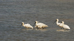 Black-billed spoonbills Stock Footage
