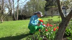 Happy gardener man gather tulip flowers in spring garden. 4K Stock Footage