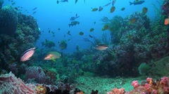 Canyon's - Coral reef in Puerto Galera Stock Footage