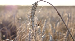 Ear of wheat at sunset light haze and a spider on the web Stock Footage