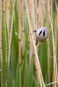 Bearded Tit ( Panurus biarmicus ) Stock Photos