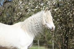 Andalusian mare with long hair in spring Stock Photos