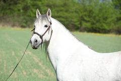 Beautiful andalusian stallion in spring - stock photo